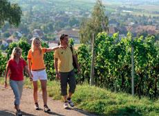 Weinbau am Hohentwiel